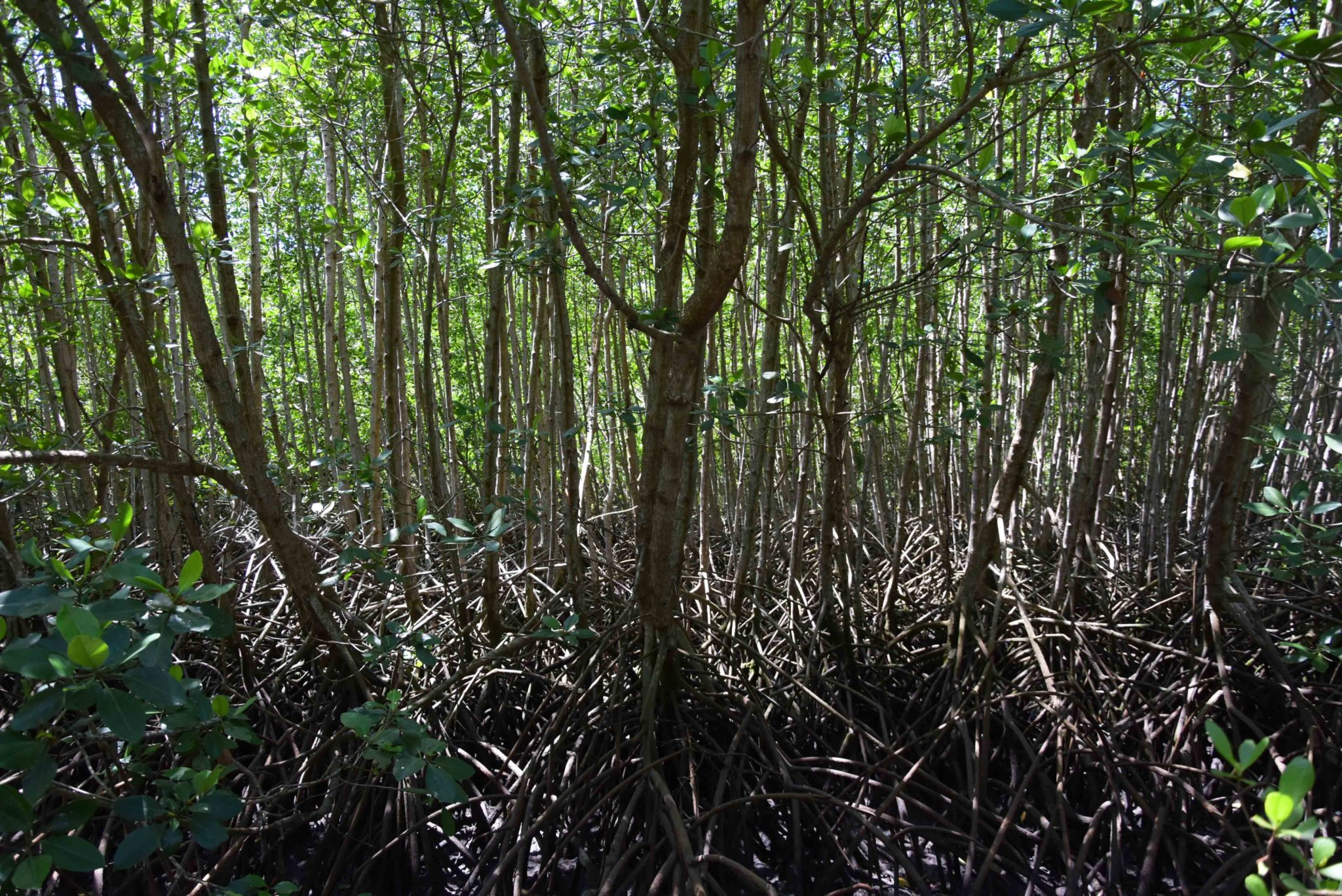 bali mangrove forest